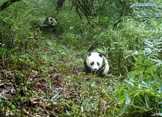 Wild giant panda mother, cub captured on camera in SW China